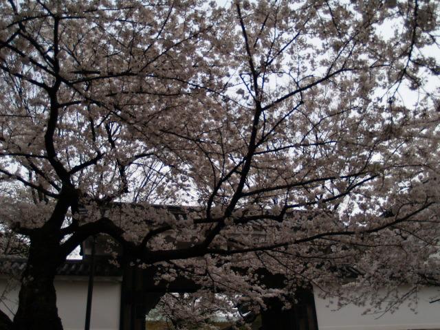 Sakura_060